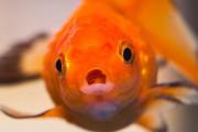 Штраф за проглоченную живую золотую рыбку