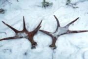 Пермяк заплатит 120 тысяч рублей за убийство лося