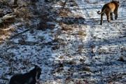 Туристы из Москвы и США приезжают посмотреть на дружбу козла и тигра