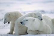 МВД просят проверить жестокое убийство белого медведя