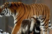 Тигру Амуру и козлу Тимуру в Приморье приготовили новогодний сюрприз