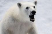 На арктической стройке Минобороны взорвали белого медведя