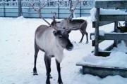 Уральская зоозащитница забрала у Деда Мороза олениху