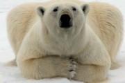 В Совфеде просят привлечь к ответственности убийц медведицы в Арктике