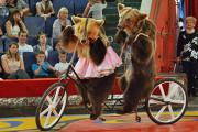 Медведи из «Цирка Никулина» попали в ДТП
