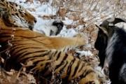 Онлайн-трансляция жизни тигра Амура и козла Тимура начнется в среду
