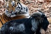 Активисты предлагают использовать дружбу тигра и козла в соцрекламе