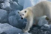 Полиция начала проверку по убийству белой медведицы на Чукотке