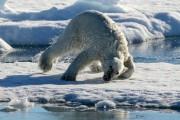 В чукотском заповеднике рассказали о судьбе медведя