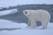 Клишас: убийство белого медведя подрывает усилия по развитию Арктики
