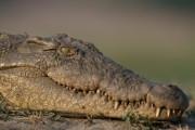 В Чите началась проверка из-за смерти крокодила от морозов