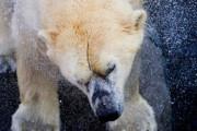Донской: стройкомпания должна ответить за ЧП с белым медведем