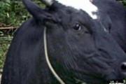 Бойся коровы, с неба летящей