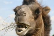 В Смоленске умер сбитый машиной верблюд Вася