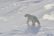 Донской: происшествие с белым медведем не было самообороной