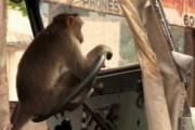 Обезьяна в Индии угнала автобус и устроила ДТП