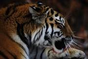 Тигр атаковал служителя австралийского зоопарка