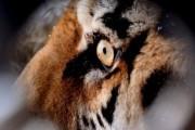 Амурский тигр в Приморье отомстил обстрелявшему его охотнику