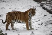 В Приморье амурский тигр ранил стрелявшего в него охотника