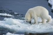 Белый медведь загрыз строителя военного объекта на Земле Франца-Иосифа