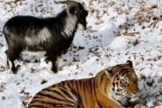Тигр Амур и козел Тимур в Приморье каждое утро начинают с игры в регби