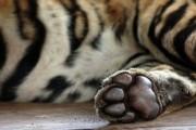 Тигренок, найденный в Приморье у нацпарка