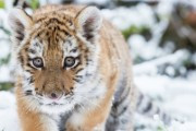 Истощенный тигренок, вышедший к людям в Приморье, пошел на поправку